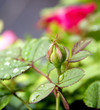 Obrazy na płótnie, fototapety, zdjęcia, fotoobrazy drukowane : red rose bud