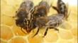 Obrazy na płótnie, fototapety, zdjęcia, fotoobrazy drukowane : Work bees in hive