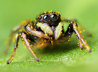 Black small jumping spider covered with pollen