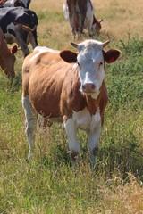 молодая корова на пастбище
