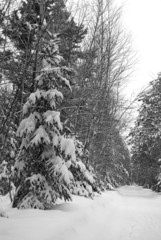 Winter Forest Scene after a snow Storm