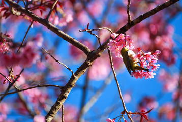 Pink cherry blossom and little bird