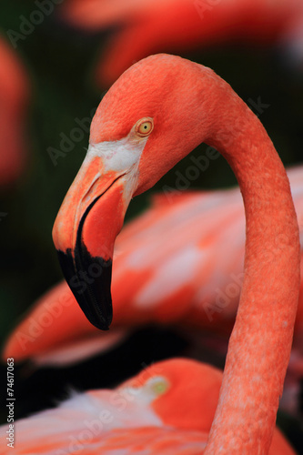 detail of red flamingo head © jonnysek
