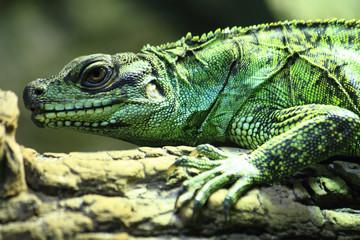 green lizard (small dragon)