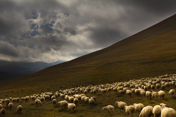 flock sheep on a background of dramatic landscape