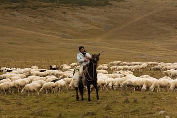 Man shepherd on horseback tending a herd of ships