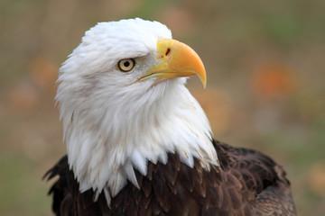 Bald Eagle (Haliaeetus leucocephalus) in Florida, North America