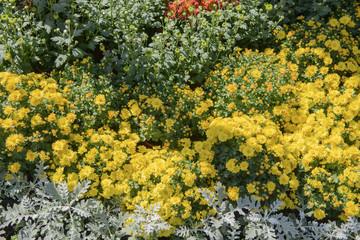 Macro of chrysanthemum bloom