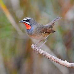 Siberian Rubythroat bird