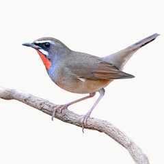 Siberian Rubythroat bird