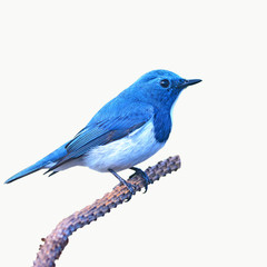 Ultramarine flycatcher bird