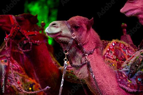 Foto op Canvas Kameel circus camel