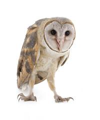 Indian Barn Owl