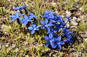 Spring Gentian in the French Alps