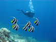 girl diver with shoal of butterfyfishes in tropical sea - 74623654