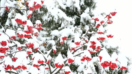 Snowing on white and green background with red rowan berries