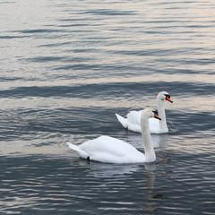 Cigno in acqua