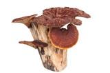 Ling Zhi Mushroom isolated on white background