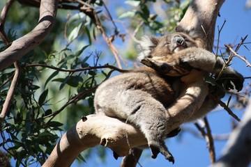 Schlafender Koalabär - Australien