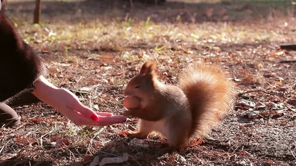 squirrel harvests nuts for  winter