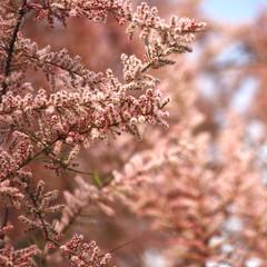 Pianta, cespuglio, fioritura, rosa
