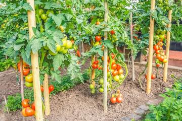 Tomatensträucher