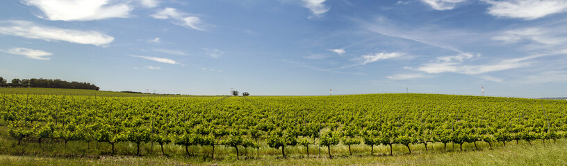 View of vineyard plantation in the Alentejo region