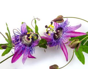 Passionsblumen: Passiflora violacea :)