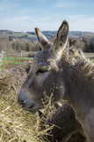 Donkey eating hay
