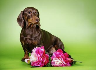 dog breed Dachshund with flowers