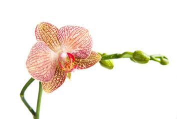 Orchid, Phalaenopsis, flower