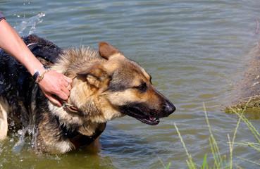 German Shepherd Dog and water