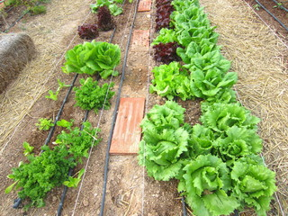 varieties of lettuce in field with drip irrigation