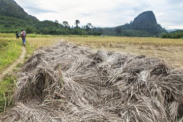 trekkers in a field rice