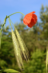 Scenic landscape with ears of barley and poppy close-up