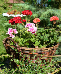 Pelargoniums in wicker baskets made of twigs on a sunny day