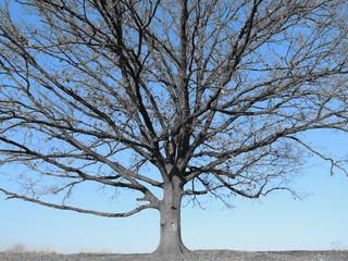 Single oak in the autumn (selective color effect)