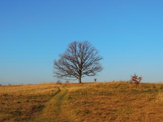 Single oak on prairie hill in the autumn