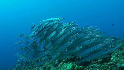 A school of Yellowstripe barracudas