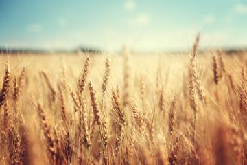 pole pszenicy złotej i słoneczny dzień