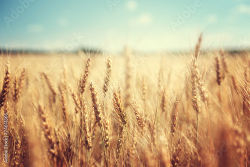 Fotobehang Platteland golden wheat field and sunny day