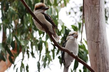 Kookaburrapäarchen - Eisvögel - Australien