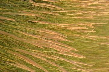 herbes sauvages sur la dune