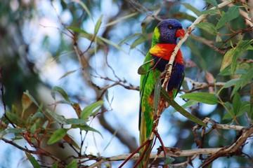 Lorikeets im Eukalyptusbaum - Australien