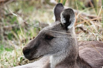 Kanguruhgesicht in den Grampians - Australien