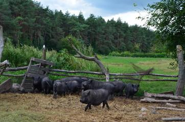 Большая группа небольших свиней в ферме