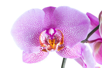 beautiful blossoming pointed lilac orchid phalaenopsis is isolat