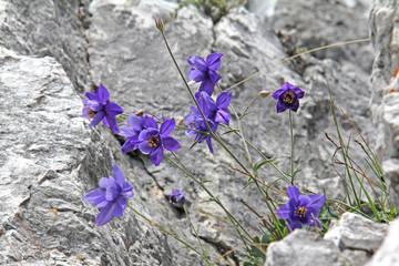 aquilegia di Einsele (aquilegia einseleana)
