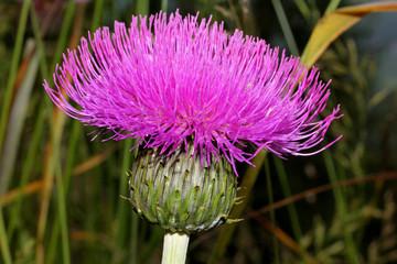 cirsio di Elena (cirsium heterophillum)