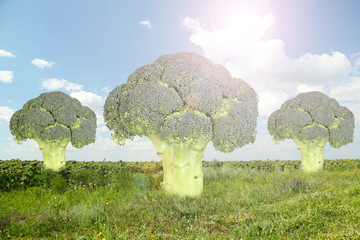 Trees of broccoli.Fantasy landscape